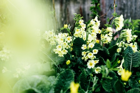 cowslip yellow flowers spring meadow gardening outdoor flowers spring