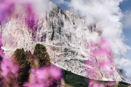 dolomites sassolungo langkofel gardena pink meadow flowers Stock Photo