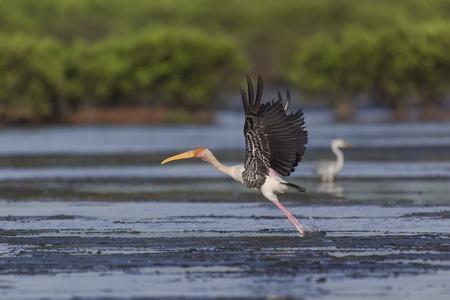 cicogna: Una Cicogna verniciata decollare l'acqua Archivio Fotografico