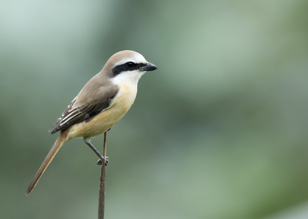 water bird: A Brown Shrike stayed still on a bamboo tops