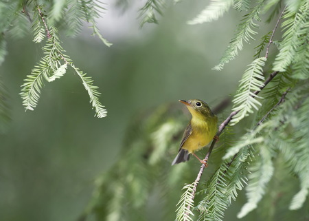 warbler: A Bianchis Warbler, a winter visitor was looking for insect