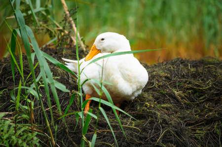 White duck sitting on grass Stock Photo