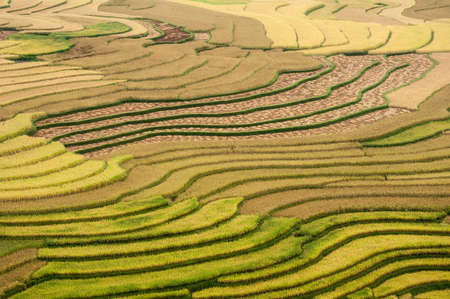 Terraced fields being harvested  Tu Le Valley, Mu Cang Chai District, Yen Bai Province, Vietnam