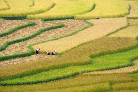 Farmers are harvesting terraced fields  Tu Le valley, Mu Cang Chai district, Yen Bai province, Vietnam Editorial
