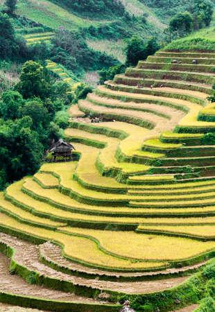 Terraced fields being harvested  Mu Cang Chai District, Yen Bai Province, Vietnam Stock Photo