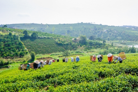Women picking tea on the field, Lam Dong province, Vietnam Editorial