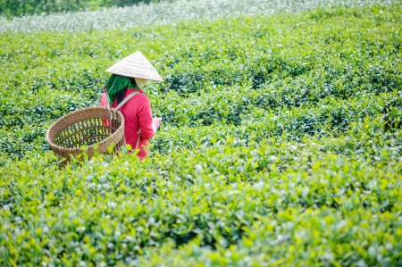 Local women with vietnamese conical hat and carry basket on the tea field, Lam Dong province, Vietnam