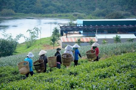 Tea leaf pickers  Bao Loc, Lam Dong Province, Vietnam