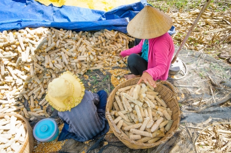 Woman and child is threshing corn by hand, Mekong Delta, Vietnam
