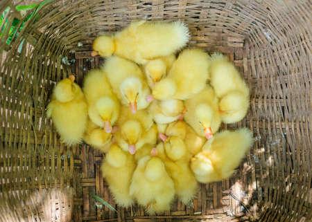 baby ducks in the basket