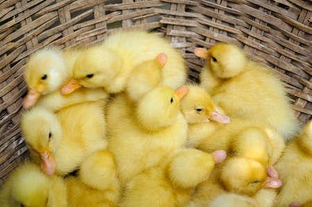 Baby ducks in the basket  Mekong Delta, Vietnam