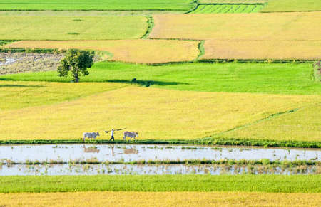 Farmers and the cows go out and work, the field in the early morning  Mekong Delta, An Giang Province, Vietnam Stock Photo