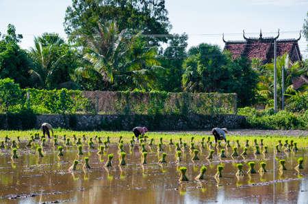 Vietnam women farmer growing rice on the paddy rice farmland  Mekong Delta, An Giang Province, Vietnam