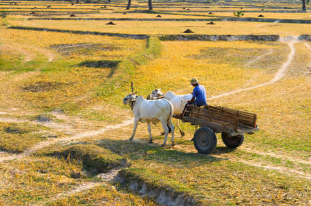Young Vietnamese farmer on wagon car, through harvested field, Vietnam Cambodia border  An Giang Province, Vietnam photo