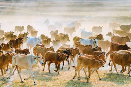 Cows going home in the dust at the end of day, Vietnam and Cambodia border  Mekong Delta, An Giang Province, Vietnam