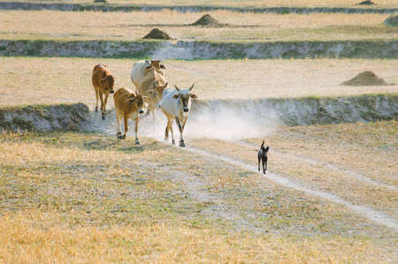 Sheepdog with cows going home in the dust at the end of day, Vietnam and Cambodia border  Mekong Delta, An Giang Province, Vietnam