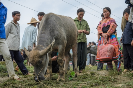 BAC HA TOWN, LAO CAI, VIETNAM - SEPTEMBER 11  Unidentified people buying and selling buffalo at sunday market on September 11, 2011 in Bac Ha Town, Vietnam  This is a famous buffalo market in north of Vietnam