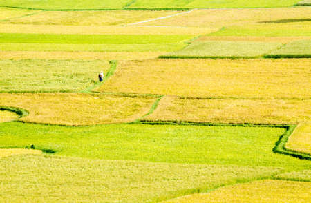 Two farmers are walking in the paddy field  Mekong Delta, An Giang Province, Vietnam Stock Photo