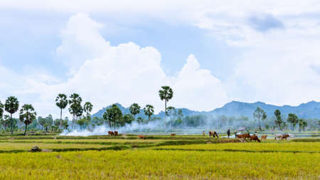 Tend oxen on harvested field, fumes of straw, cloud sky, Mekong Delta, Vietnam