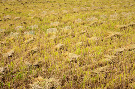 Rice stubble after harvest  Mekong Delta, Vietnam Stock Photo