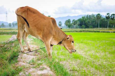 A calf eating grass on paddy field  Mekong Delta, An Giang Province, Vietnam Stock Photo