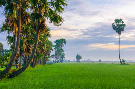 Early morning on the rice field, hidden in mist,  palmyra trees tilted in the sun  An Giang province, Vietnam Stock Photo
