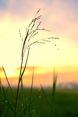 golden beardgrass with backlit Stock Photo - 20977002