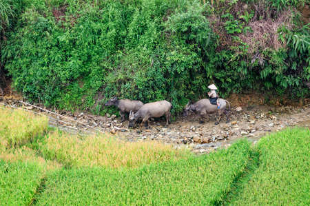 Herd beside a stream, riped rice field, near Tu Le, Mu Cang Chai, Vietnam photo