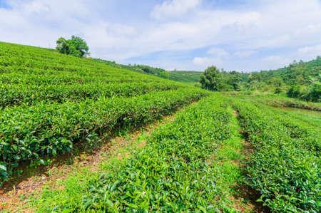 loc: Tea field and blue sky, Bao Loc, Center Highland of Vietnam Stock Photo