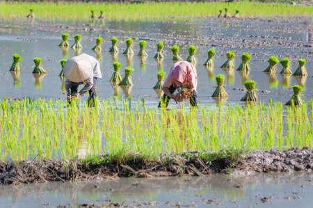 Two Vietnam women farmer growing rice on the paddy rice farmland  Mekong Delta, An Giang, Vietnam photo