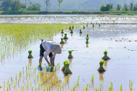 Vietnam woman farmer growing rice on the paddy rice farmland  Mekong Delta, An Giang, Vietnam