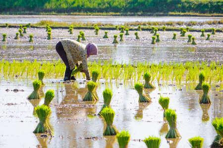 Vietnam woman farmer growing rice on the paddy rice farmland near Chau Doc, An Giang Province, Vietnam