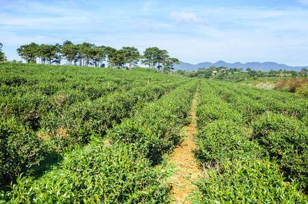 loc: Tea field and blue sky near Bao Loc, Lam Dong, Center Highland of Vietnam Stock Photo