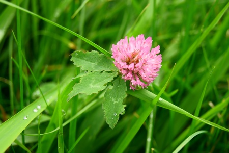 The red clover              Stock Photo - 12596419