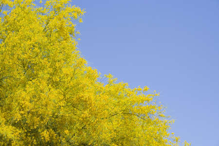 yellow blossoming tree against blue sky 版權商用圖片