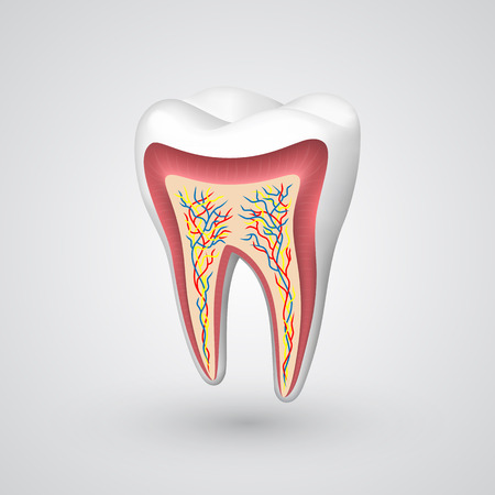 Vector tooth sectional. Vector illustration art 10eps Çizim