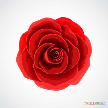 red color: Red rose on white background