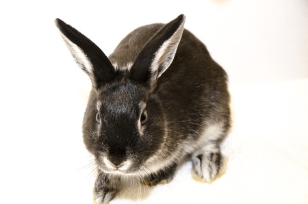 spay: black and white rabbit frontal view on white background