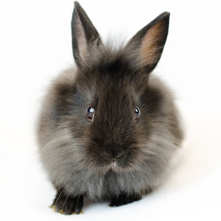 long nose: black and grey rabbit frontal view on white background