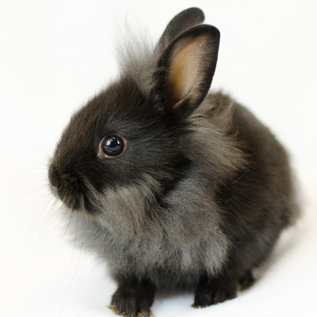 spay: black and grey rabbit sideview on white background Stock Photo
