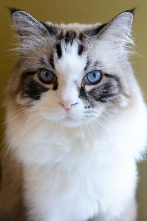 Ragdoll cat portrait bright blue eyes looking straight 版權商用圖片