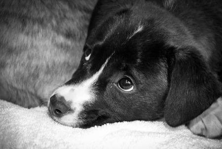 glancing: black and white puppy lying down with soft eyes glancing up Stock Photo