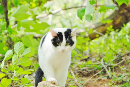 black and white cat in forest walking toward the camera photo