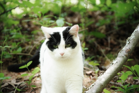 lack and white cat in forest walking toward the camera photo