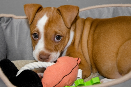 soulful eyes: cute puppy in a dog bed with toys