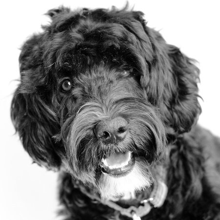 PWD, water dog,wavey,white chin,head on white background with a smile photo