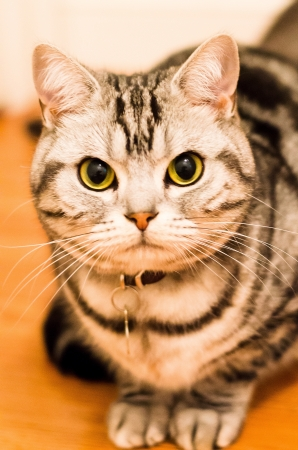 flatter: exotic short haired dark tabby with round eyes on a neutral background