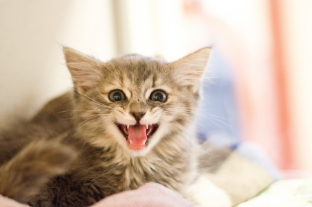 mouth open meow with pink tongue showing on a two month old\ kitten
