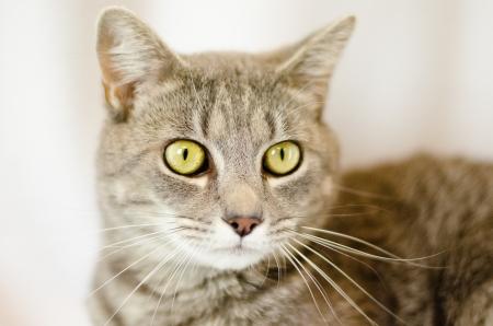 gray tabby: Beautiful gray tabby cat with intense gold eyes