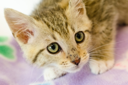 calico cat: calico cat young kitten looking at camera Stock Photo